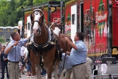 The Budweiser Clydesdales being outfitted
