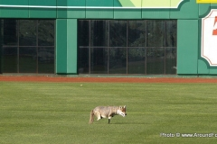 2009/12/05: Faux Coyote on the field