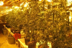 Marijuana plant growing operation