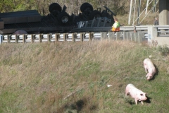 Pigs loose on toll road
