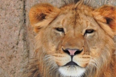 Bahati the lion