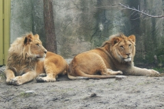 Bahati the lion (on the right)