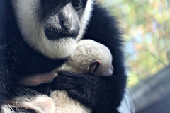Colobus Monkey baby born at the Zoo with her mother